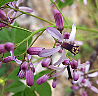 Bead-tree, Indian lilac