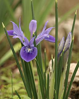 Vartan's Iris