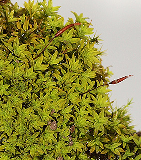 Bird's-claw Beard-moss