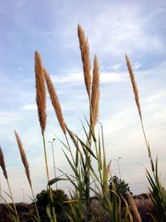 Giant Reed, Spanish Cane