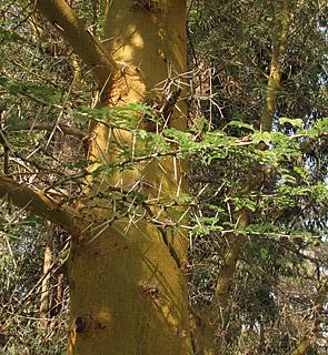 Fever tree, Sulphur bark, African thorn tree.