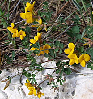 Judean Bird's-foot Trefoil