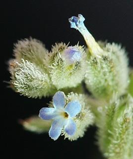 רושליה דו-זרעית