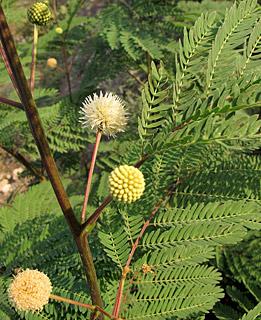 Leucaena galauca, Acacia glauca