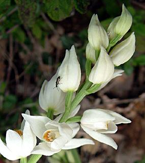 Long-Leaf Helleborine