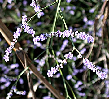 Swamp Sea-Lavender