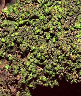 Dilated scalewort