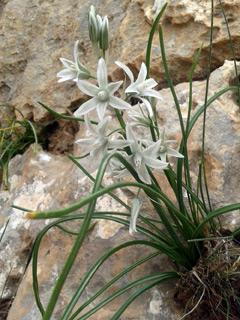 Herod's star of Betlehem