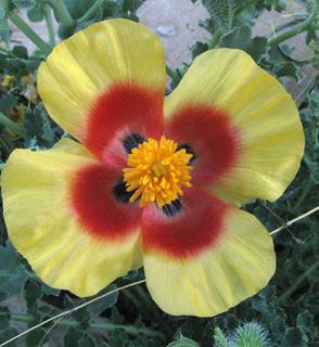 MOuntain Horned-poppy