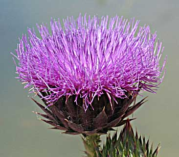 Artichoke Cotton-thistle