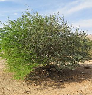Gay acacia or Dega
