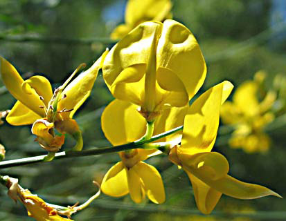 Spanish Broom, Rush Broom