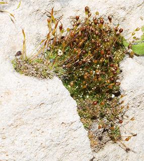 Thin Cord-moss