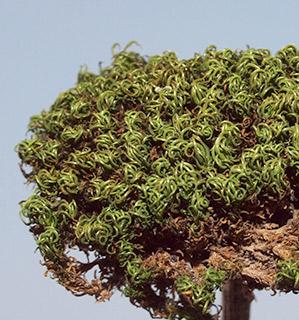 Variable Crisp-moss