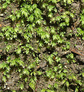 Short-leaved Pocket-moss