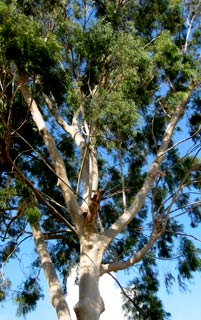 Lemon-scented gum, lemon eucalyptus