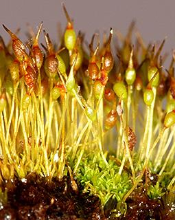 Blunt-leaf Tufa-moss