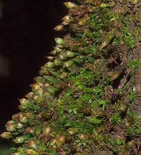 Slender Bristle-moss