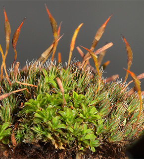 Small Hairy Screw-moss