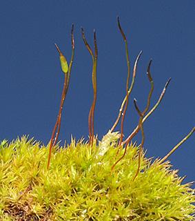 Soft-tufted Beard-moss