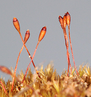 Variable Forklet-moss