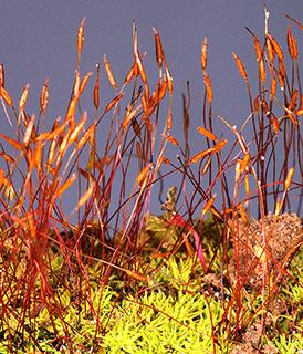 Yellow Crisp-moss