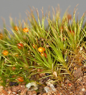 Awl-leaved Earth moss
