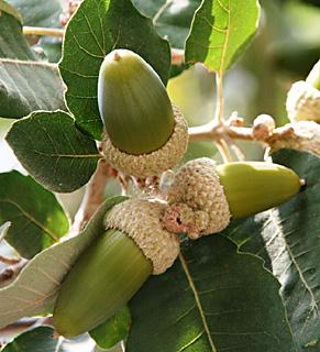 Boissier Oak, Aleppo Oak