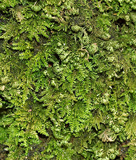 Prince-of-Wales Feather-moss