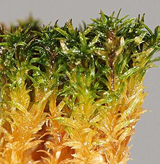 Whorled Tufa moss