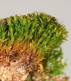 Olive Beard-moss