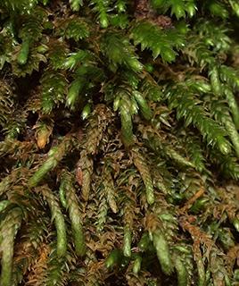 Bird's-foot Wing moss
