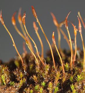 Hornschuch's Beard-moss