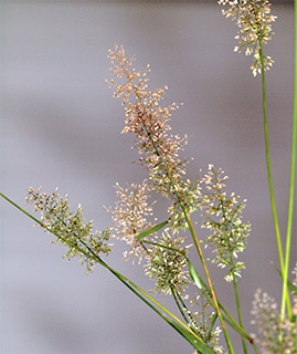 Japanese lovegrass