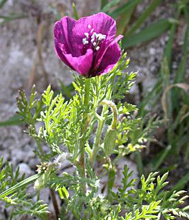 Purple Horned-Poppy