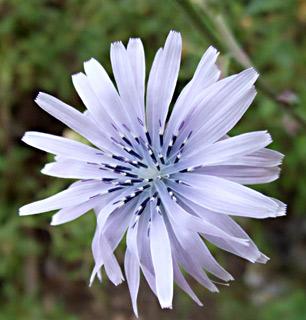 חסה כחולת-פרחים