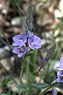 Glabrous Speedwell