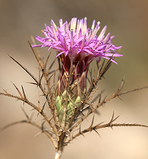Beautiful Distaff-thistle