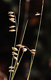 Small Melick Grass