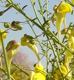 עפעפית  גדולת-פרחים