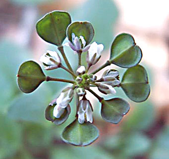 Perfoliate Penny-cress