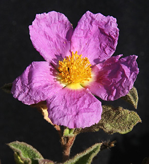 Soft-Hairy Rockrose