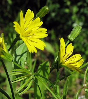 Star Hawkbit
