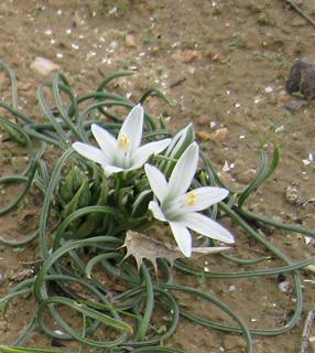 Fine-Leaved Star-of-Bethlehem