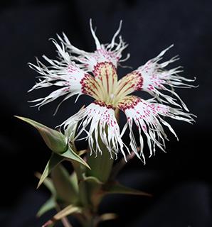 Pink, Lebanese Carnation