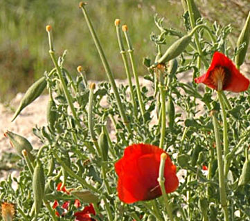 Red-horned Poppy