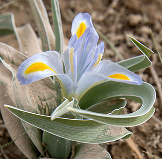 King Uzziae Iris