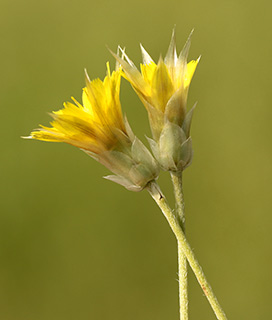 אוזן-גדי צהובה