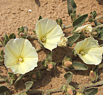 One-sided Bindweed