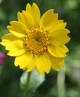Corn Marigold,Yellow cornflower